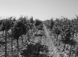 domaine-chaume-arnaud-grapes