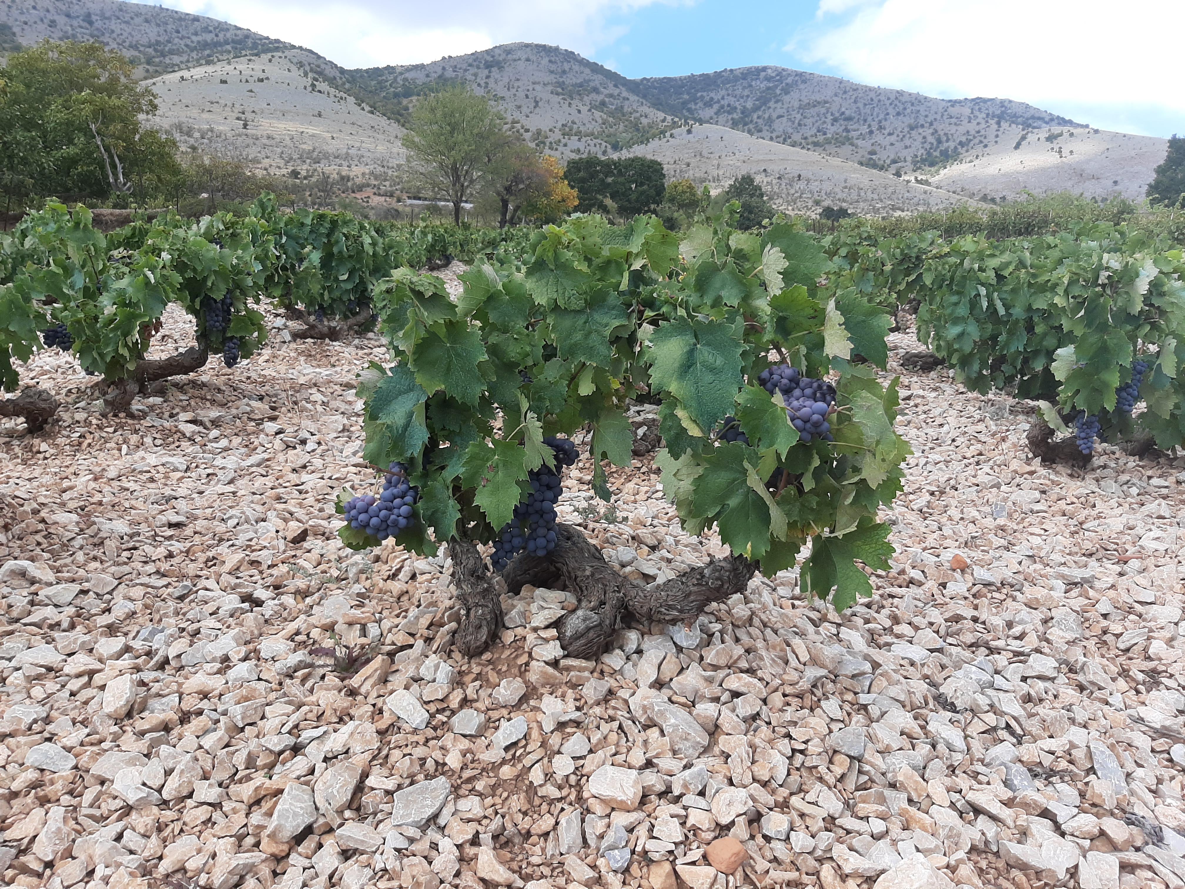 Diamantis Vines in Macedonia